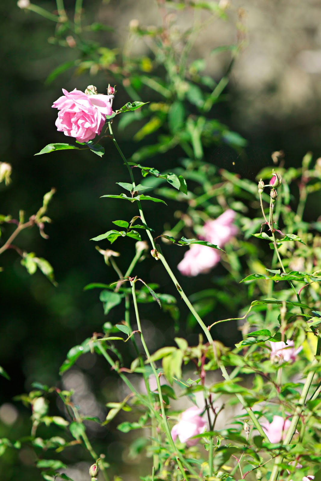 pretty pink vintage roses with foliage - photo copyright Allison Beth Cooling