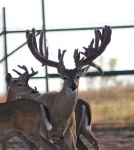 whitetail, buck, deer, trophy