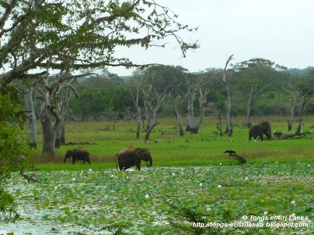 elephants de yala au sri lanka