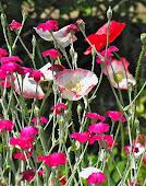 Celia's Poppies