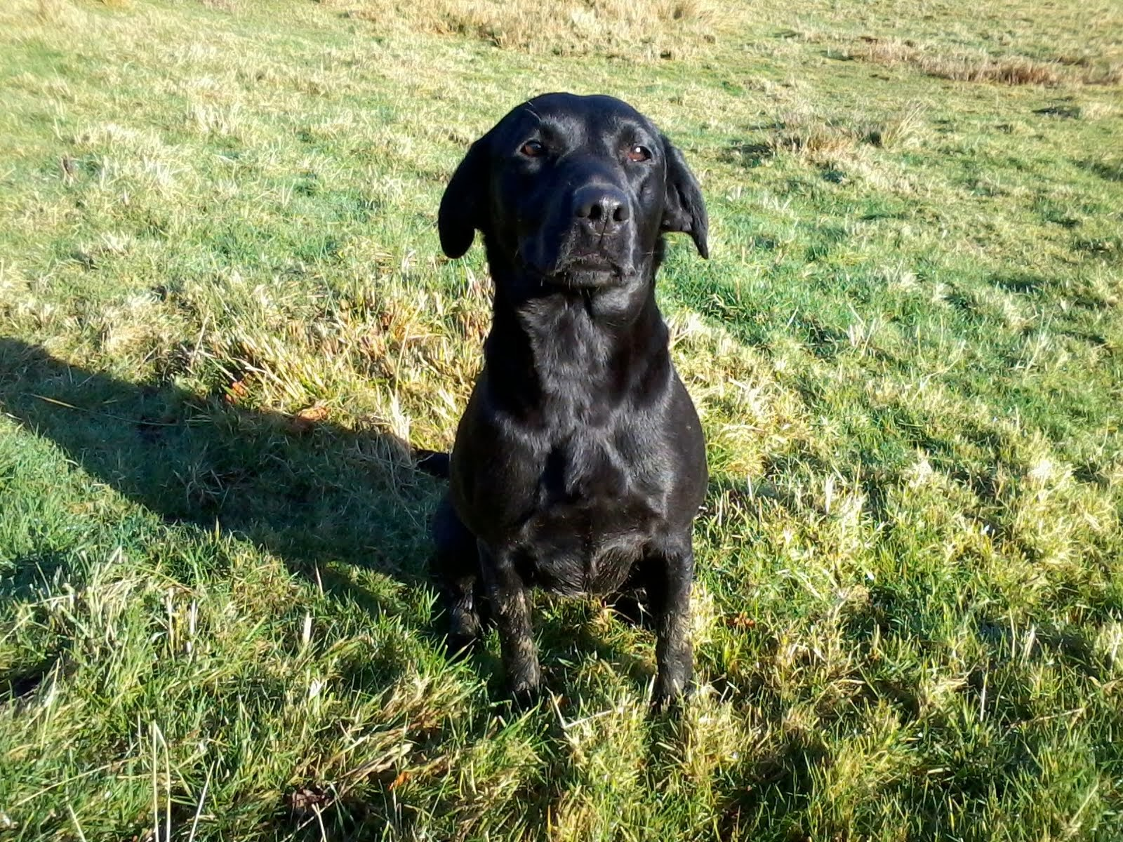 Quincy - Labrador Retriever
