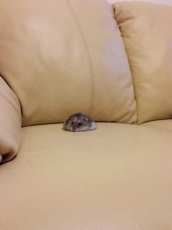 Funny animals of the week - 3 January 2014 (40 pics), chubby hamster sits on couch