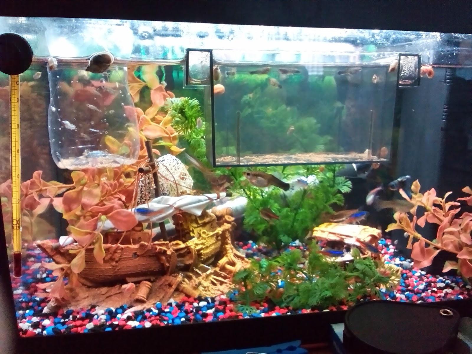 Problemas con guppys 2 pasi n por los acuarios for Peces artificiales para acuarios