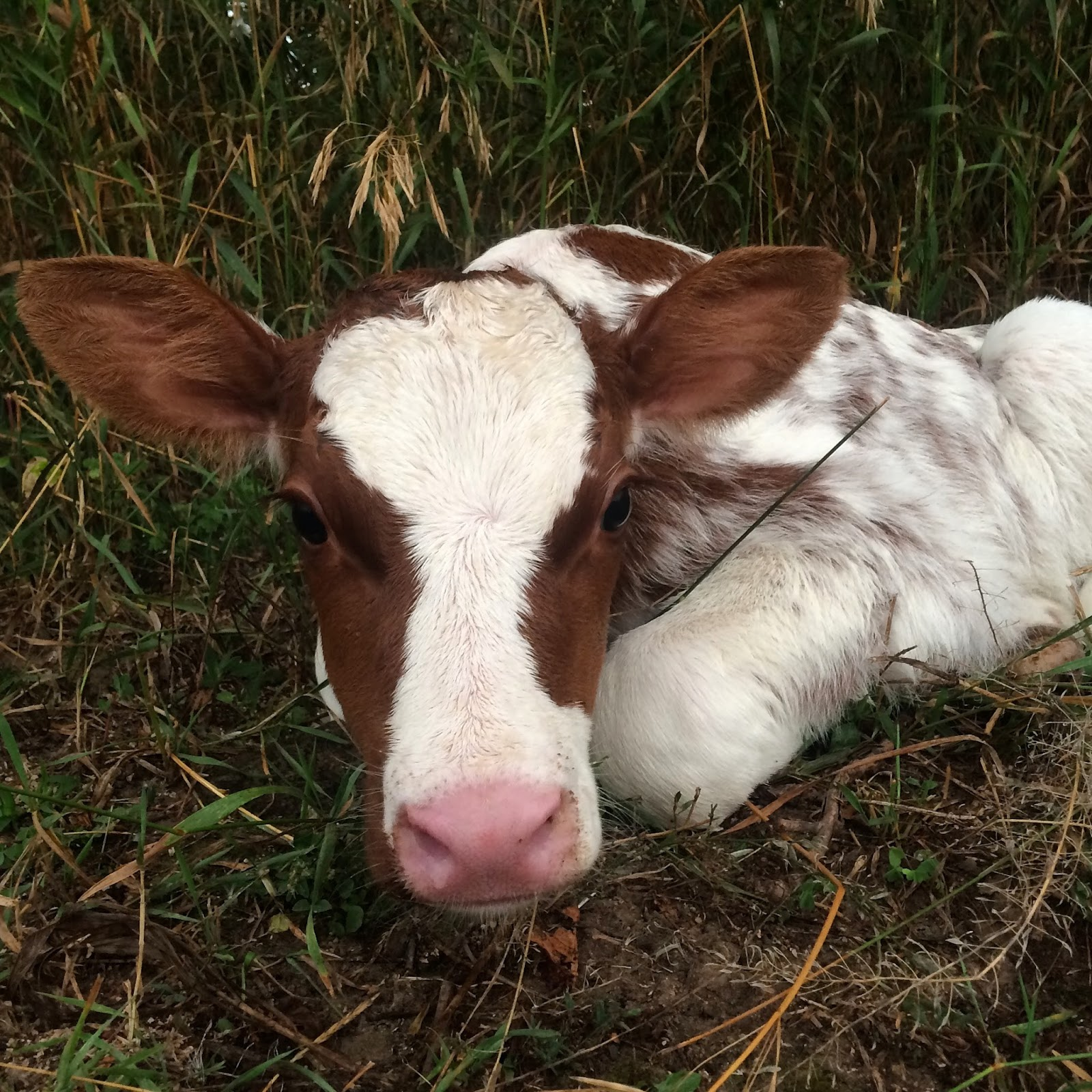 red and white roan heifer calf