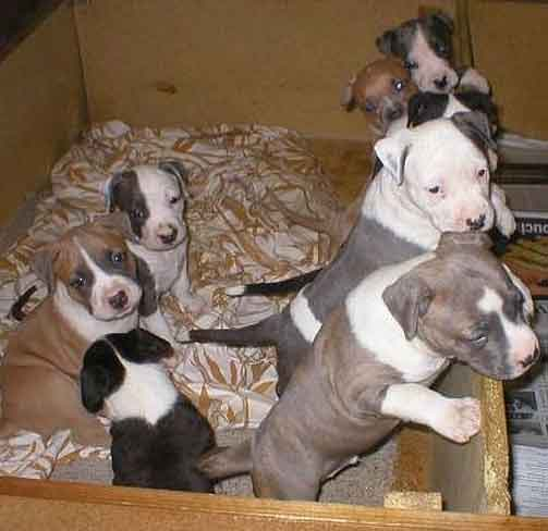 Funny American Staffordshire Terrier Puppies