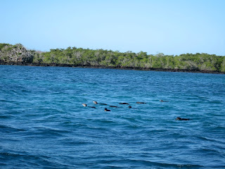 Penguins Swimming in Elizabeth Bay, Isabela Island, Galapagos