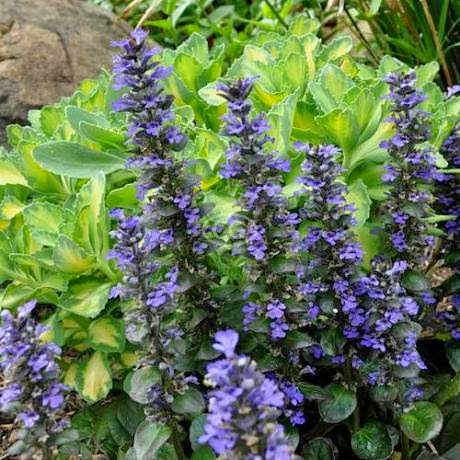 Benefits Of Bugle (Ajuga Reptans) For Health