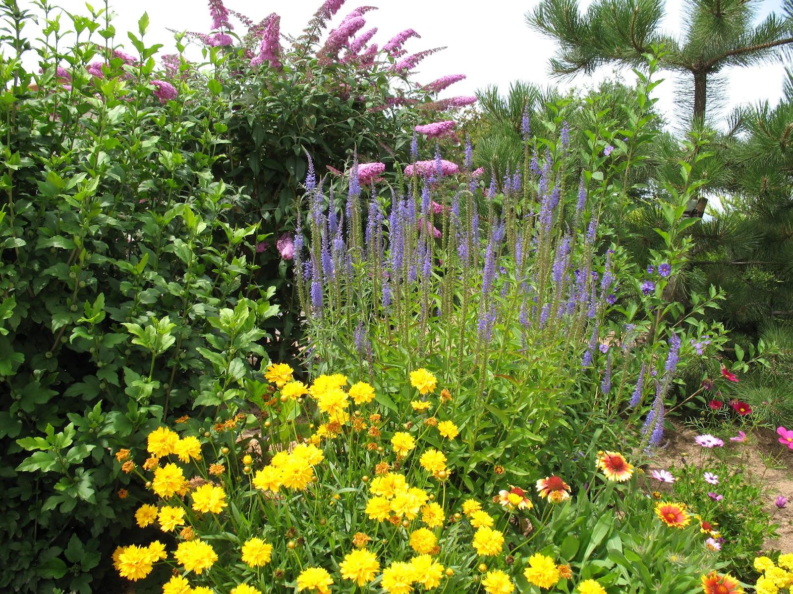Roses du jardin ch neland cor opsis sonnenkind - Jardin de chen ...