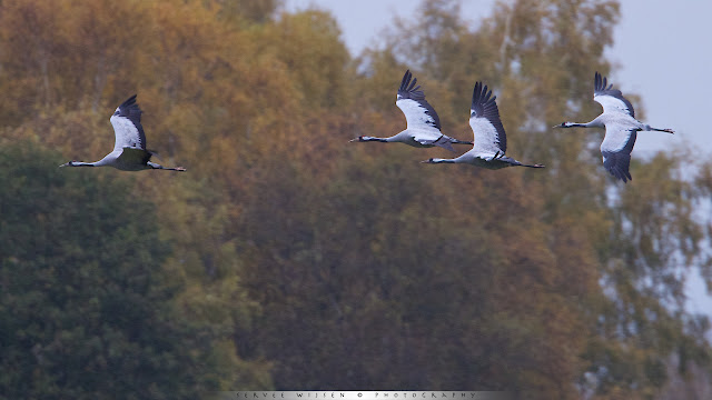 Cranes flying against fall colored forest