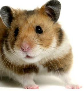 gambar hamster warna putih hitam oranye