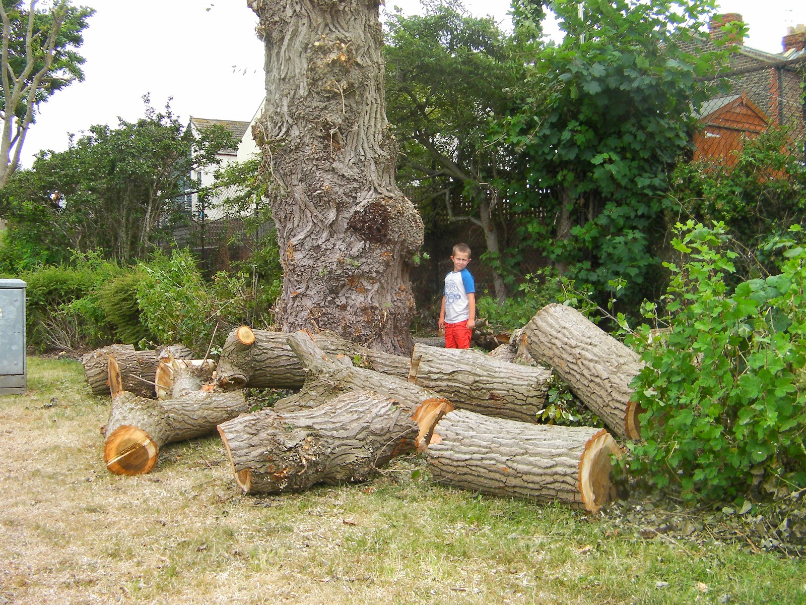 freshly cut logs at base of large tree storm damage bransbury park portsmouth