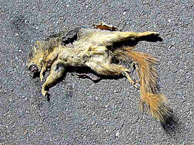 dead squirrel in the middle of the road - © 2007, 2011 David Ocker