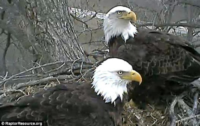 EAGLES IN DECORAH IOWA