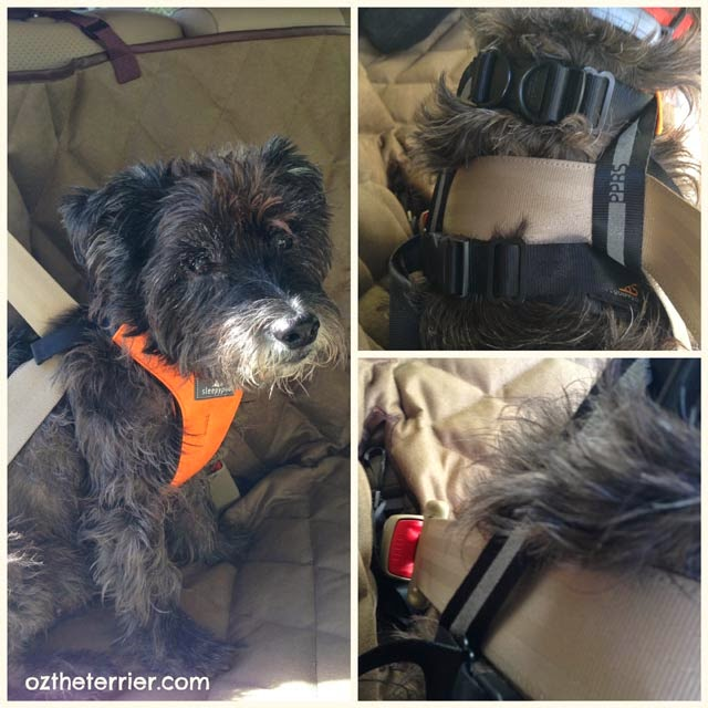 Oz the Terrier gets buckled up in the car with Sleepypod Clickit Sport pet safety restraint
