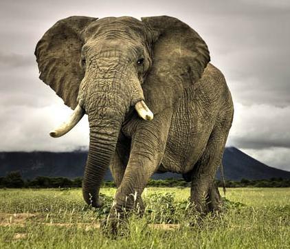foto gajah terbesar di dunia - gambar hewan