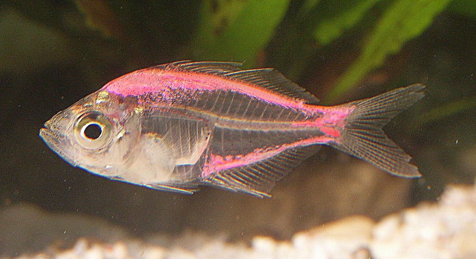 gambar ikan X-Ray Tetra nama hewan dari huruf X