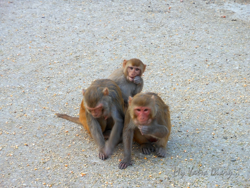 Monkeys in the Govind Devji Temple, courtyard, Rajasthan