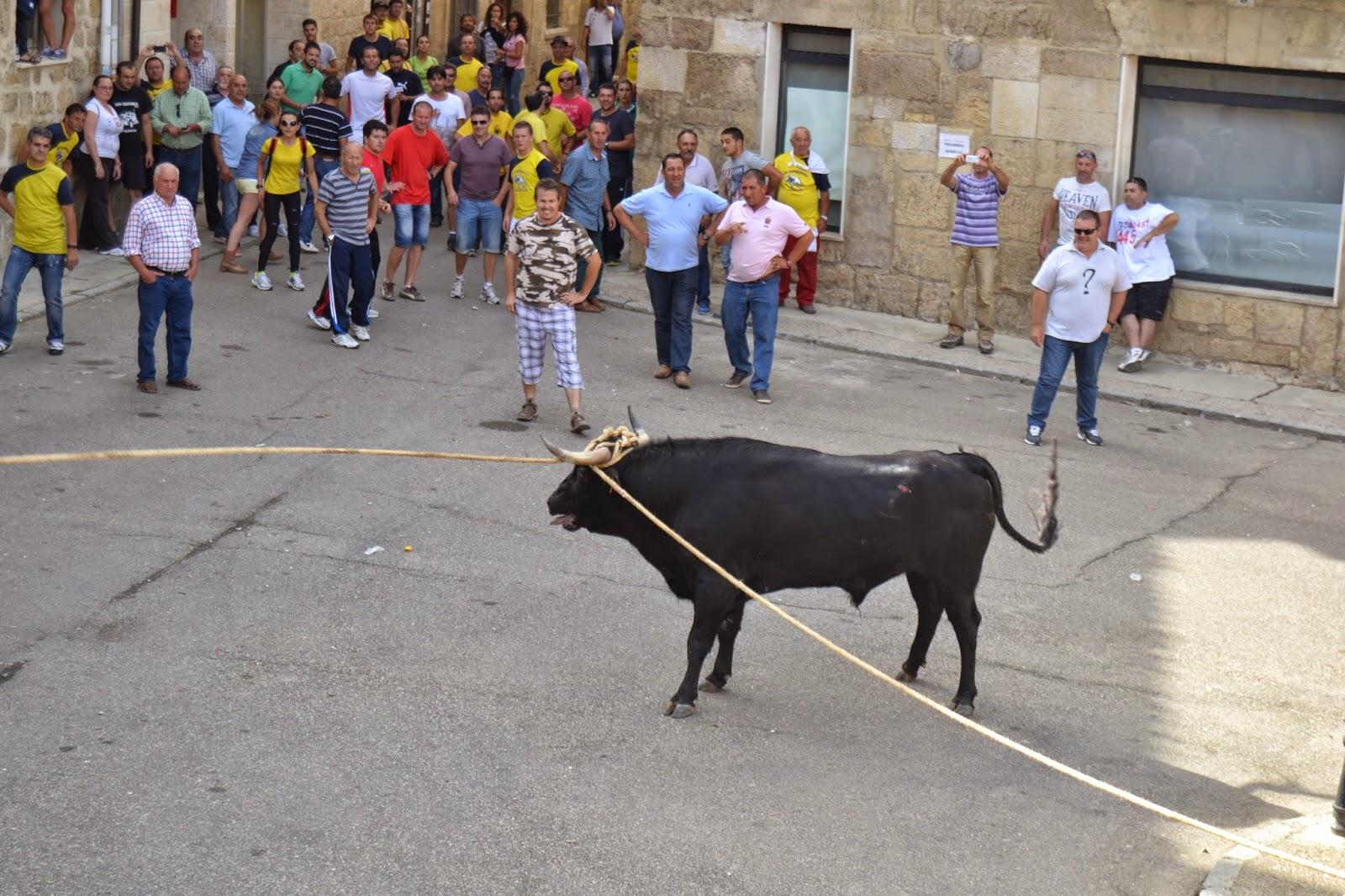 Turismo astudillo aguilillo primer toro enmaromado legal - Oficina turismo toro ...