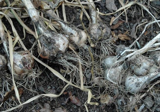 Nyskördad vitlök ligger jordig på marken