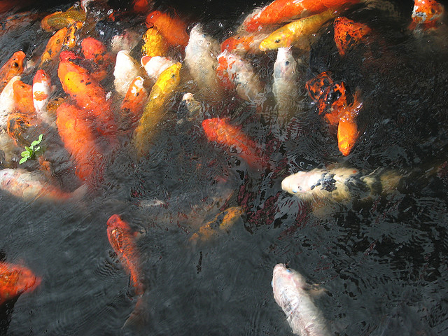 Caring For Your Koi Fish Carp