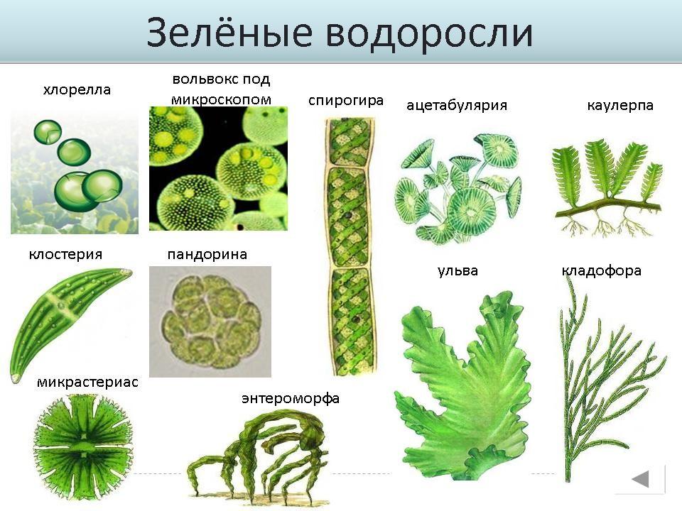 в пресных водоемах обитает водоросли вольвокс