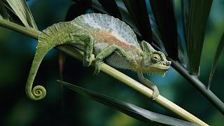 Lagarto camaleón