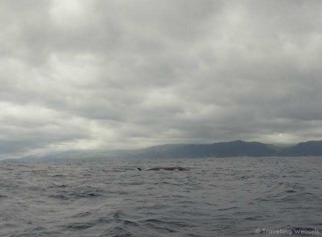 sao miguel azores sei whale