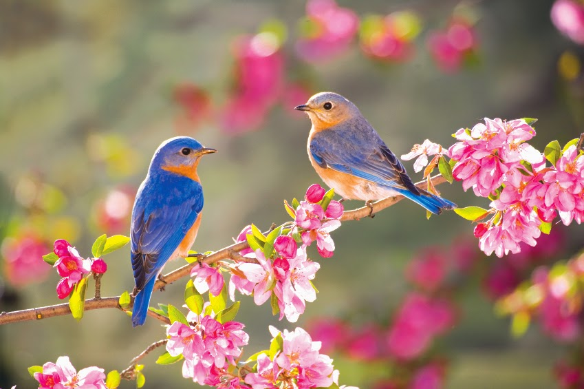 two birds on a flowering branch