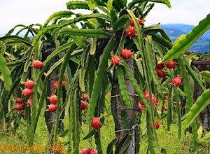 cara-menanam-buah-naga.jpg
