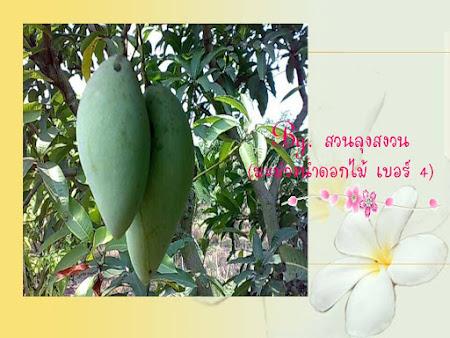 มะม่วงน้ำดอกไม้  เบอร์  4
