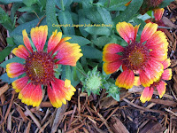 Gaillardia Pulchella Indian Blanket Flowers