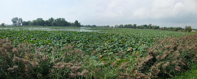 panorama of lotus beds