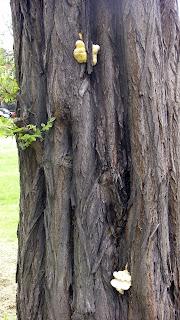 Laetiporus sulphureus - Sulphur Polypore On Robinia
