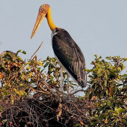 Indian birds - Lesser adjutant - Leptoptilos javanicus