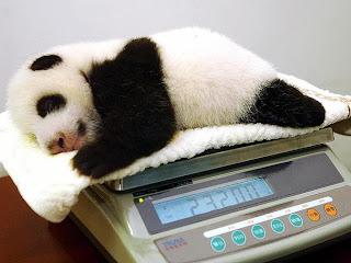Weighing scal panda