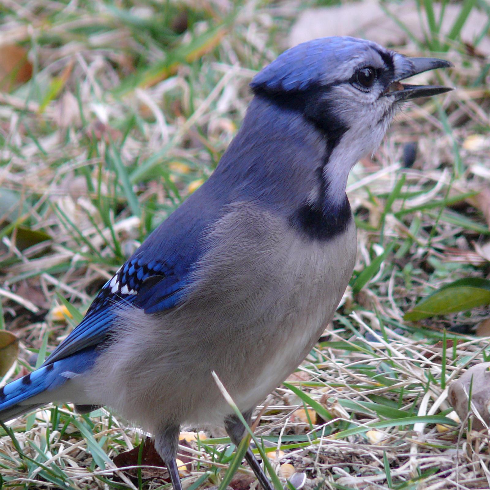 Wild life: Blue jay | wild birds