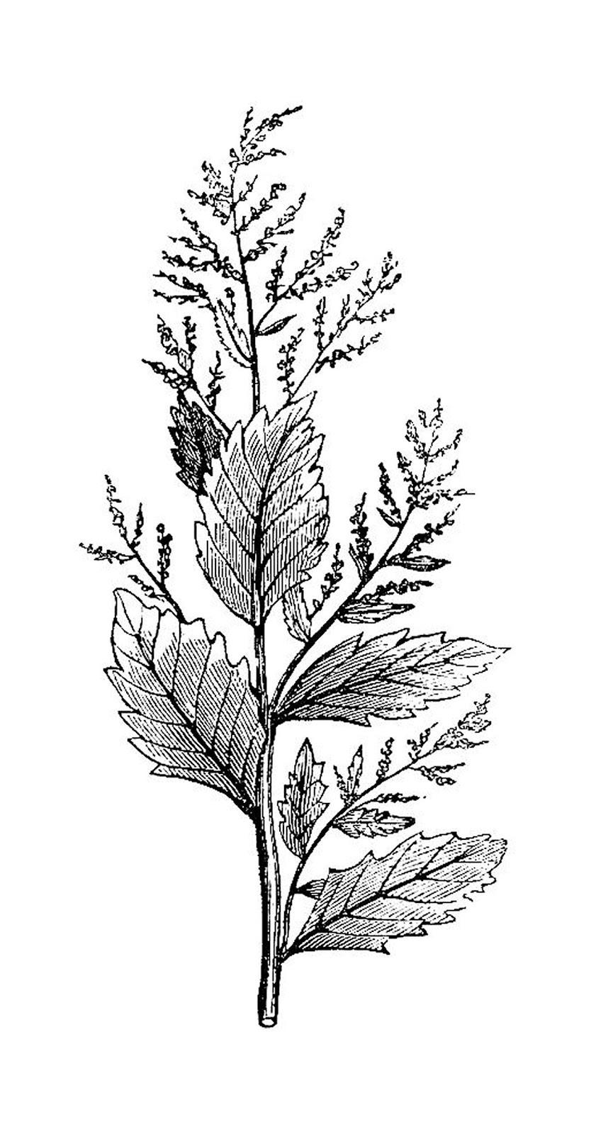 Botanical illustration black and white - photo#11