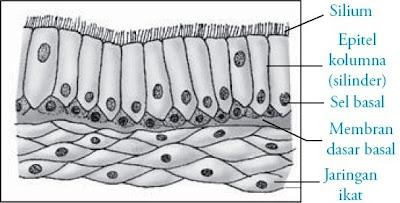 Epitelium dalam bronkus cabang batang tenggorokan
