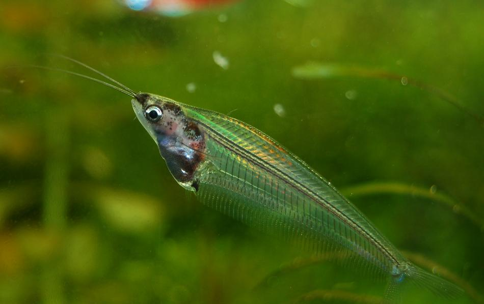 African Glass Catfish - Fishes