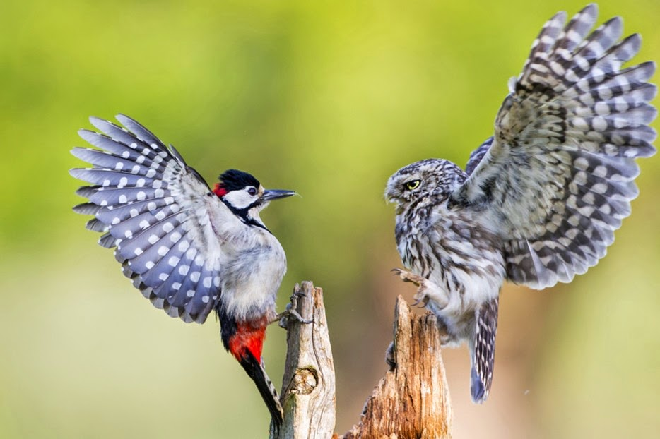 50 Powerful Photos Capture Extraordinary Moments In The Wild - An owl and a woodpecker attempt to intimidate one another.