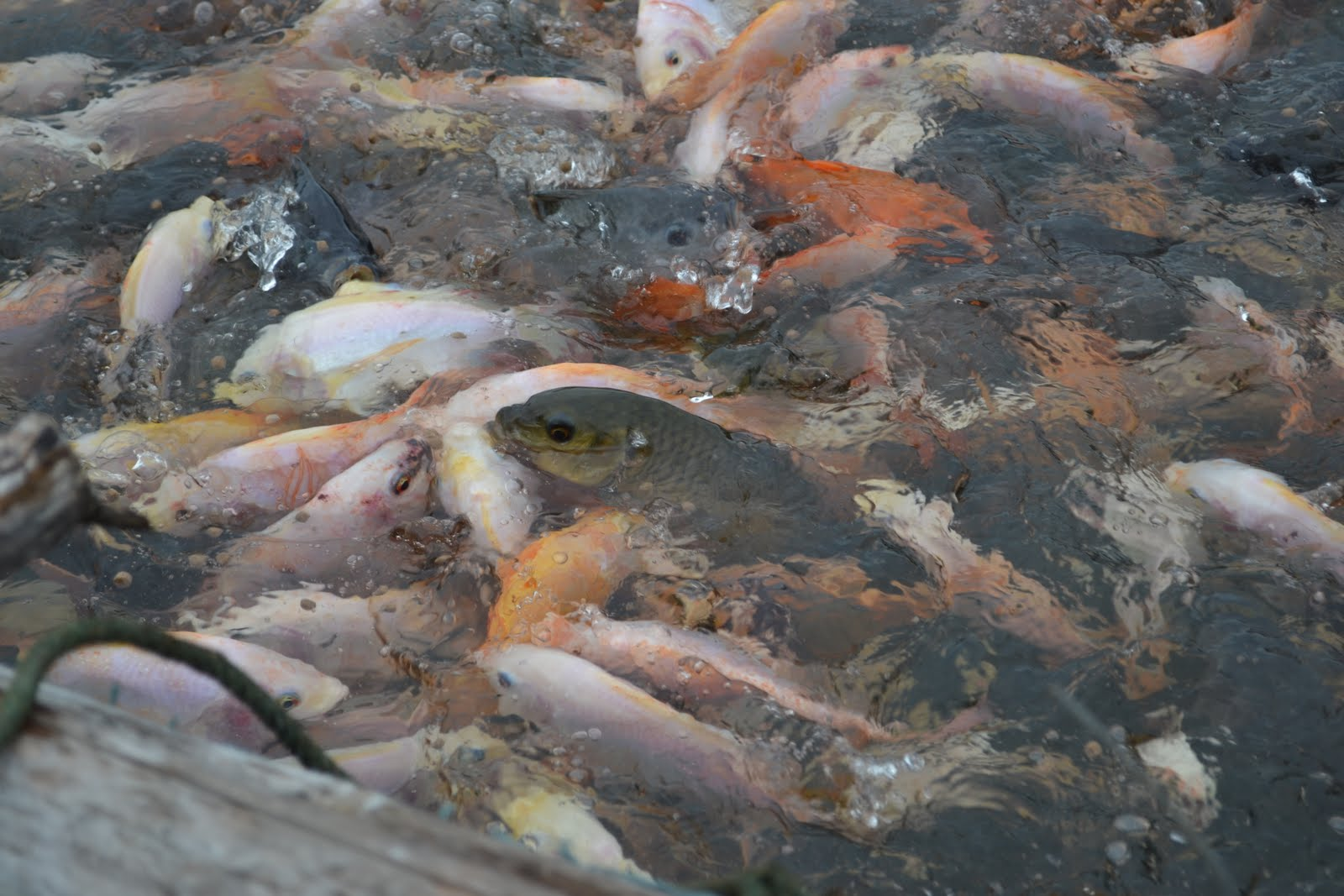 Vietnam fish farm for Is tilapia a bottom feeder fish