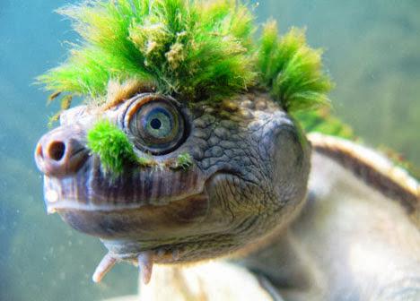 Mary River Turtle, a tartaruga punk e seu penteado verde