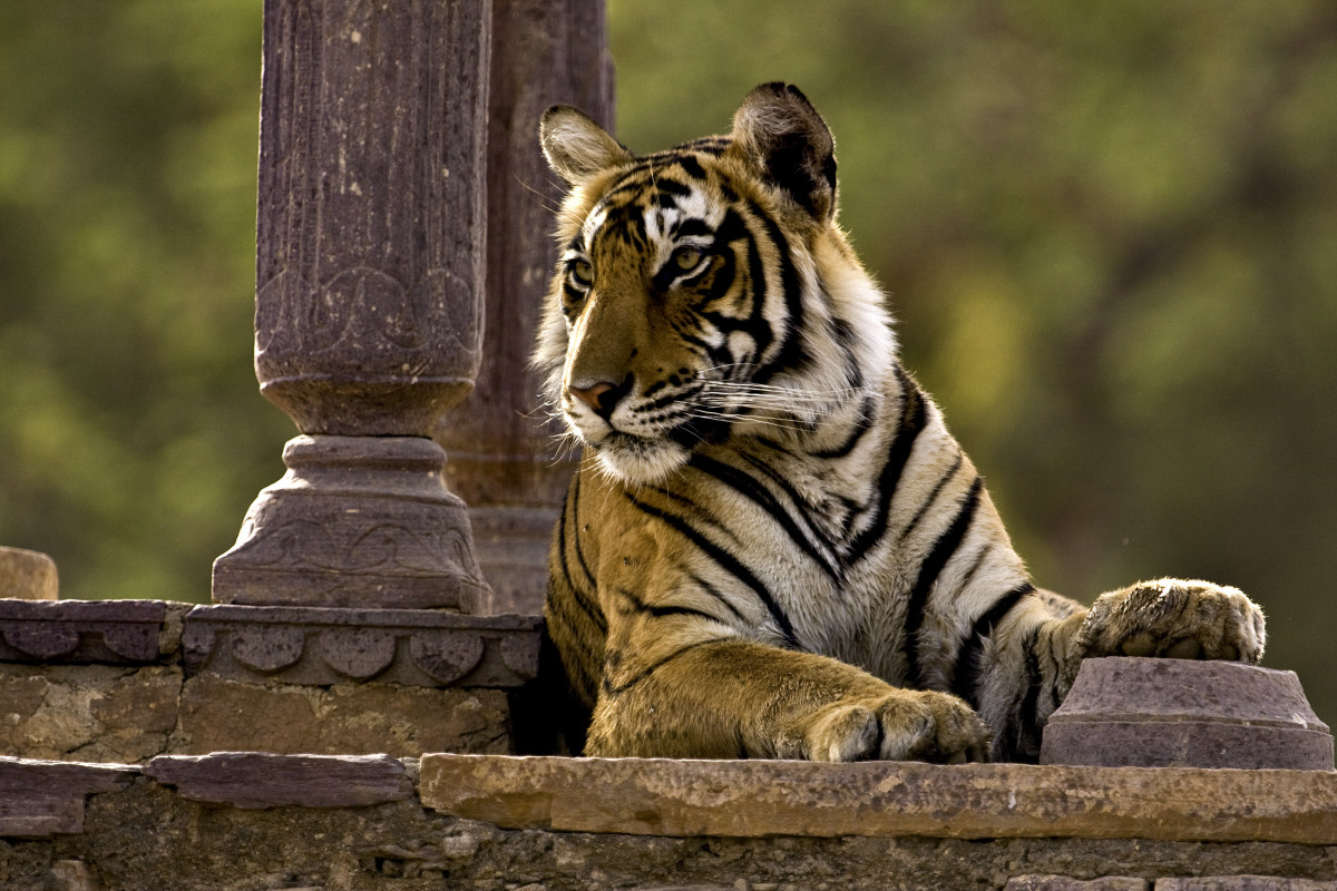 ranthambore national park Find hotels near ranthambore national park, india online good availability and great rates book online, pay at the hotel no reservation costs.