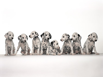 Dalmatian funny puppies