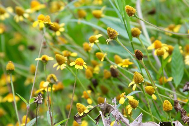 Creeping Spot-flower-Brazos Bend State Park-Needville, Texas
