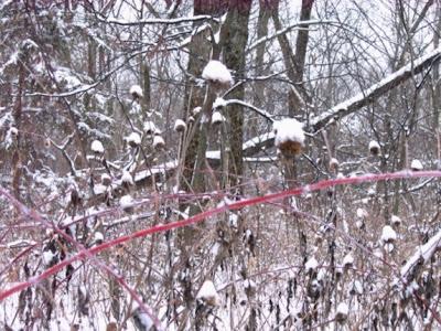 Snow Raspberries Echinacea