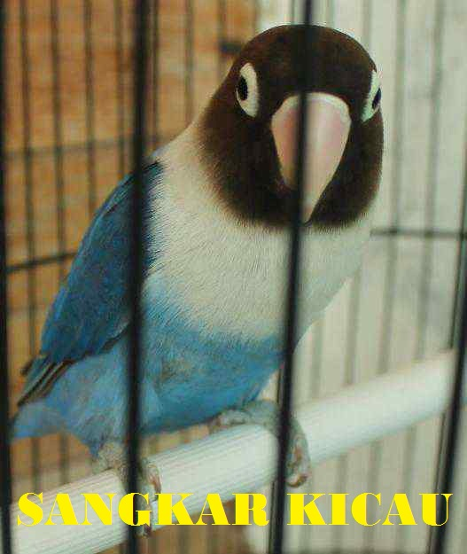 gambar sangkar kicau lovebird dakocan biru gambar di