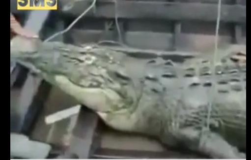 في الهند فتحوا بطن تمساح ابتلع رجل لن تصدق ماذا وجدوا بداخله !!