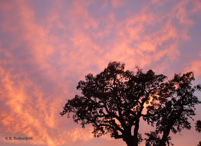 September 27 Sunset Behind Oak, © B. Radisavljevic