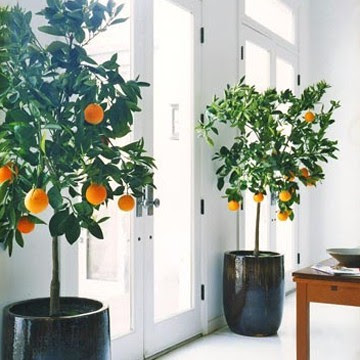 Orange Tree as House Plant